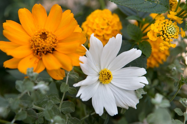 cosmos-and-bidens-3
