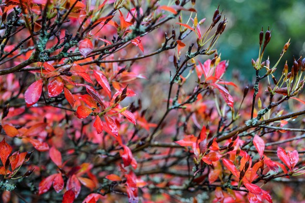 Red/orange enkianthus foliage