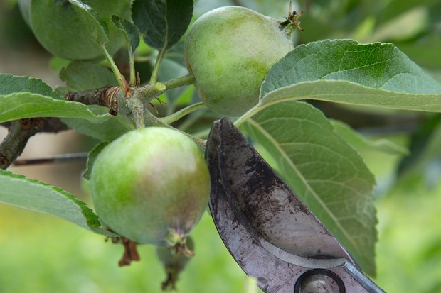 Thinning out forming apples