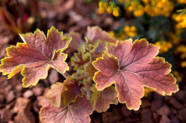 heuchera-delta-dawn-3