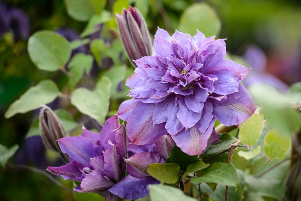 clematis-vyvyan-pennell-3