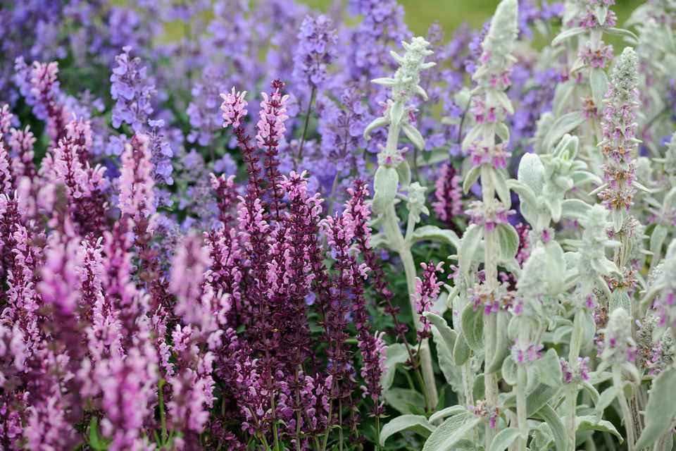 Silver, furry lamb's ears with purple salvia