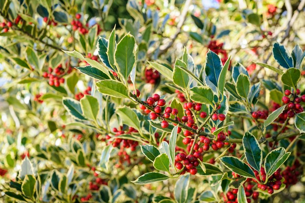 A variegated holly with many red berries