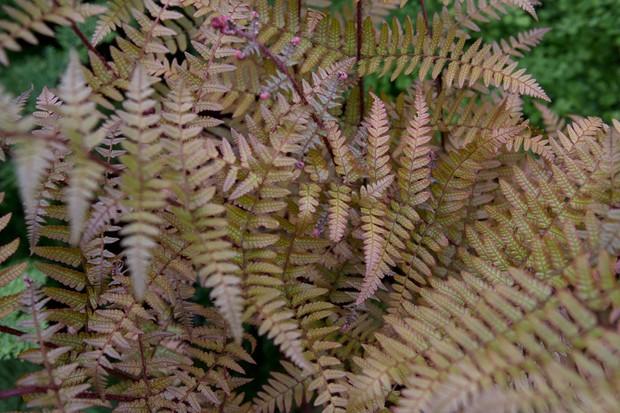 Bronze fronds of the autumn fern