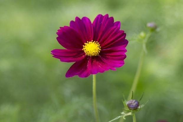 Cosmos: vivid pink-red bloom of 'Dazzler'