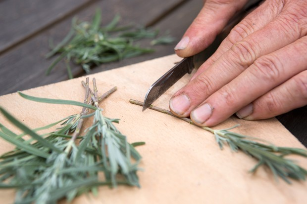 Preparing lavender cuttings with a knife on a wooden board
