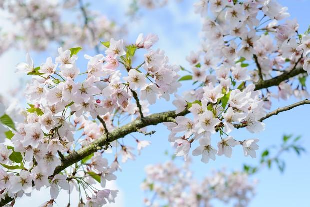ornamental-cherry-prunus-pink-shell-2