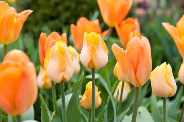 orange-tulip-bestseller-3