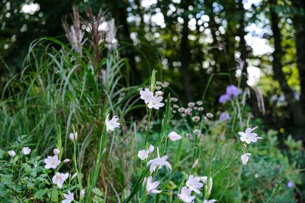 Pink-white hesperantha blooms