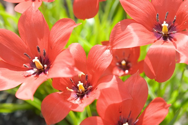 tulipa-linifolia-2