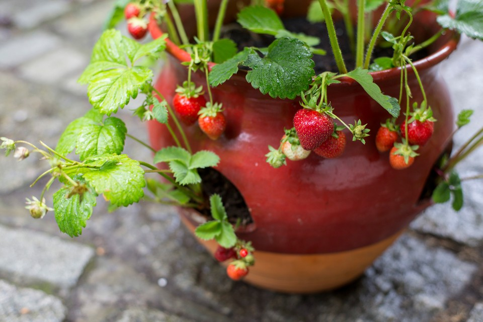 Best Planters And Containers For Strawberries Bbc Gardeners World Magazine