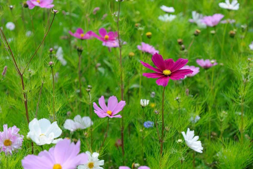 Cosmos in flower