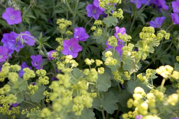 alchemilla-mollis-growing-with-hardy-geranium-2