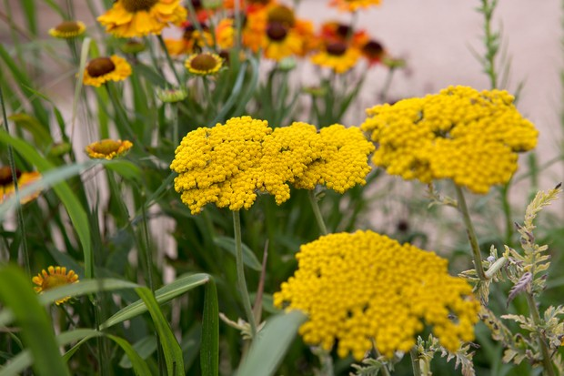 achillea-cloth-of-gold-2