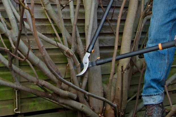 Pruning A Fig Tree With Pictures Gardenersworld Com