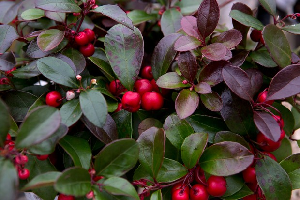 Bronze foliage and red berries of the checkerberry
