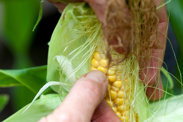 How to harvest sweetcorn - testing the kernals