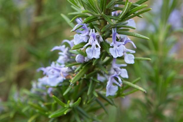 rosemary-in-flower-4