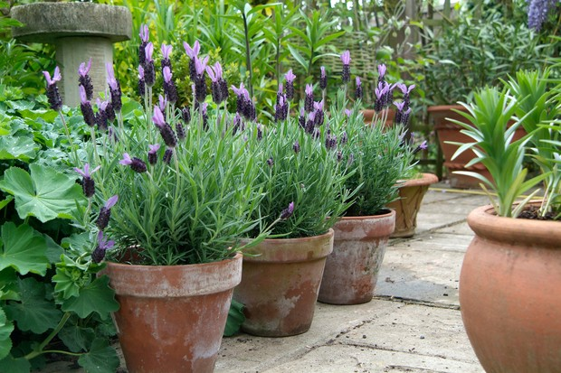 how to grow lavender in pictures. Black Bedroom Furniture Sets. Home Design Ideas