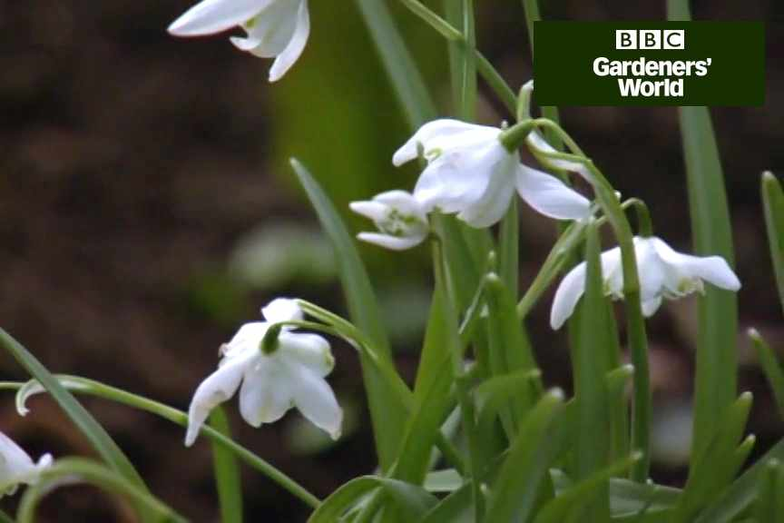 How to divide snowdrops in spring