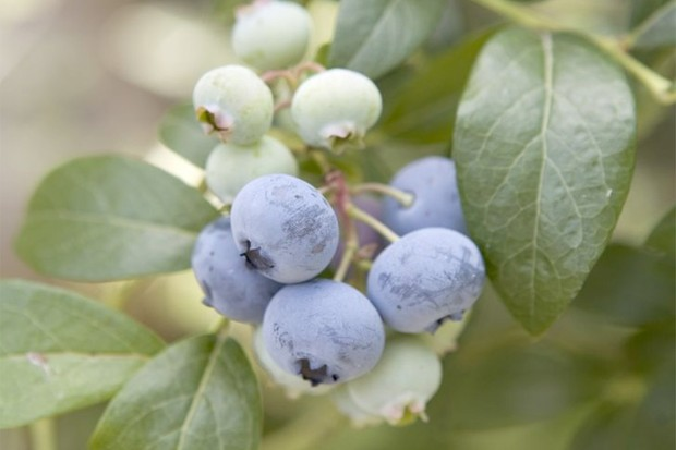 growing-blueberries-in-pots-2