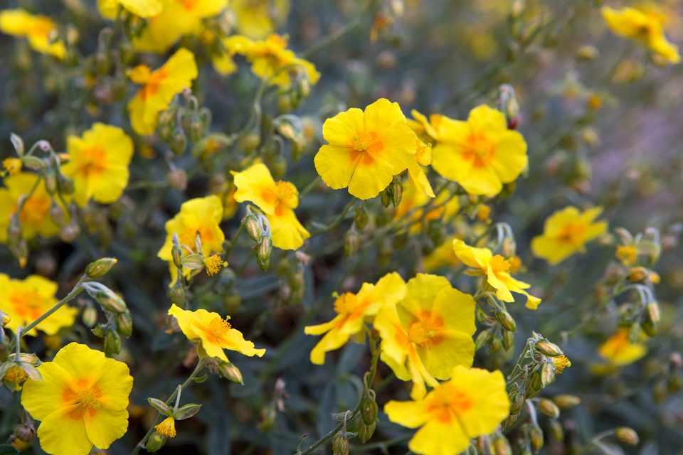 Yellow helianthemum