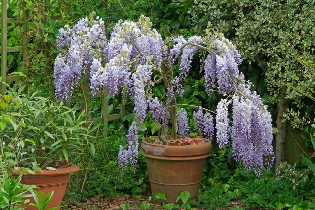 Wisteria sinensis in a container
