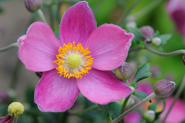 A mid-pink Japanese anemone bloom