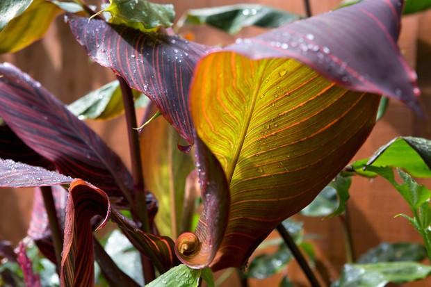 Purple canna foliage
