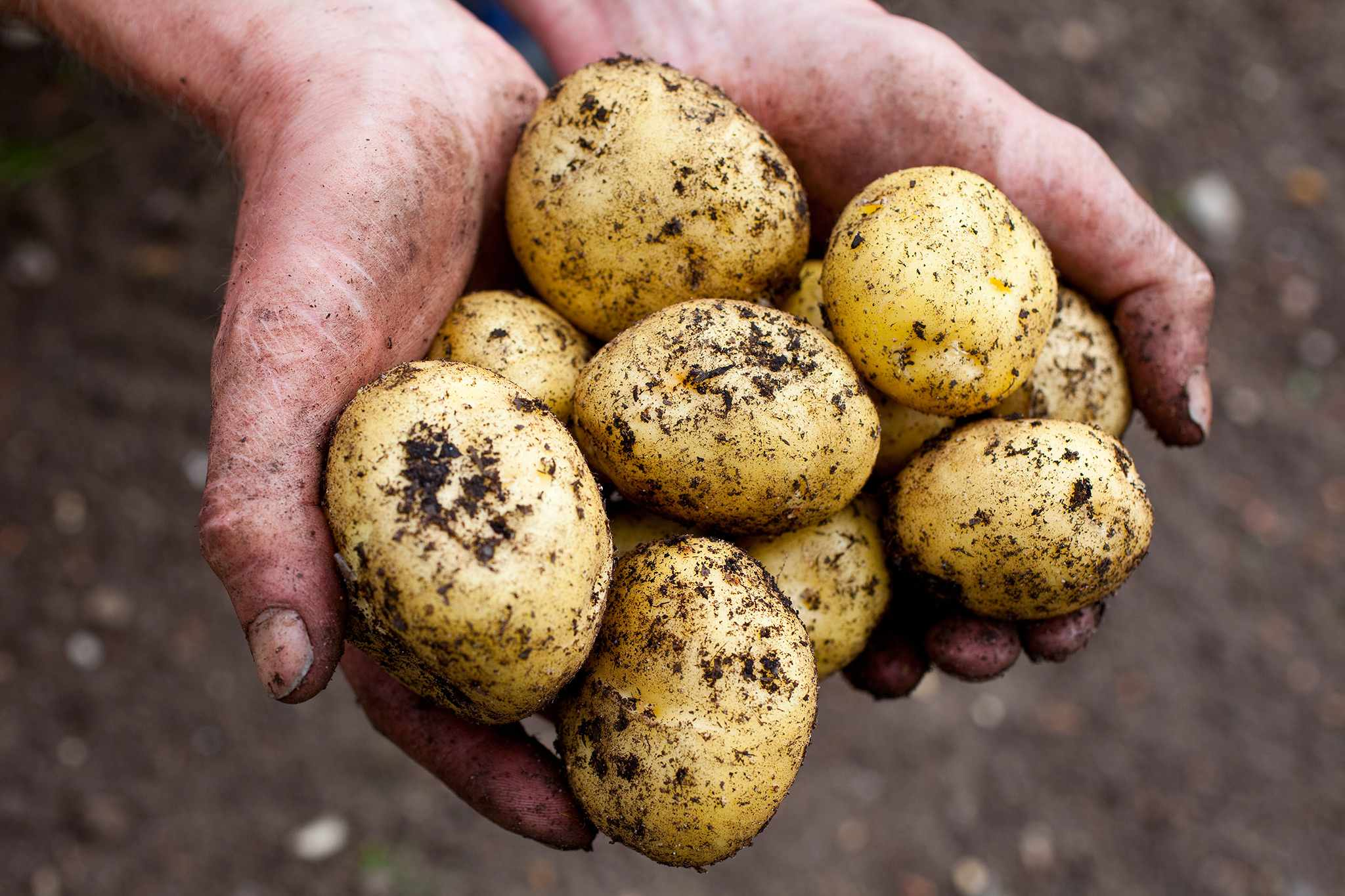 Freshly harvested potatoes - Grow Guide