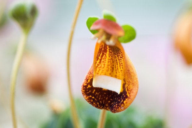 calceolaria-walter-shrimpton