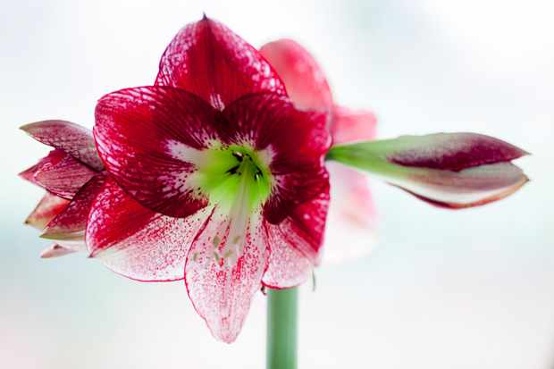 White and scarlet-veined blooms of Hippeastrum 'Tosca'
