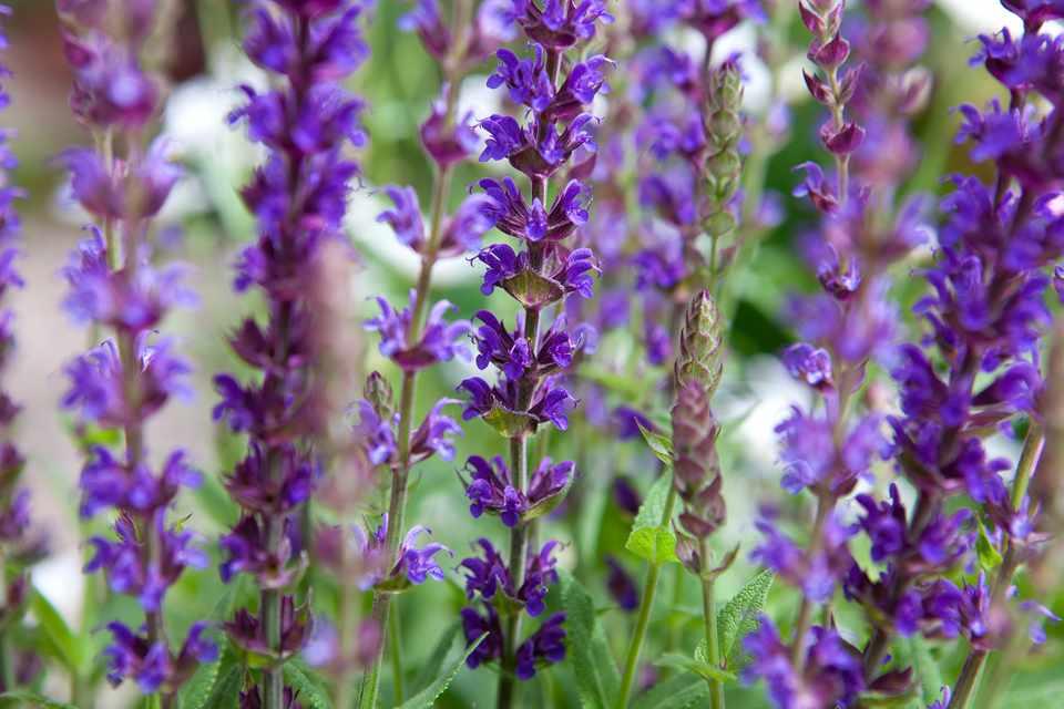 Pruning Perennial Salvias |Salvia Plants