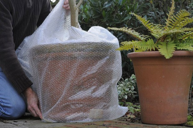 Protecting plants in winter - wrapping pots in bubble wrap
