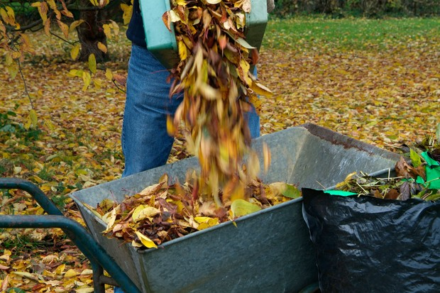 Filling a wheelbarrow with leaves