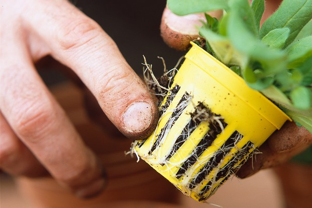 A small plant with an healthy extensive root system protruding from the gaps around its pot