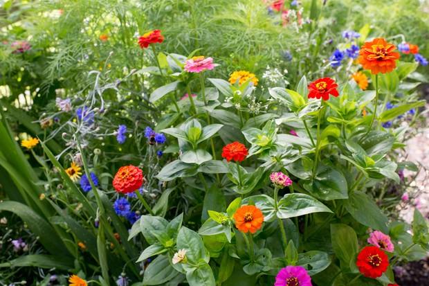 zinnias-and-cornflowers-2
