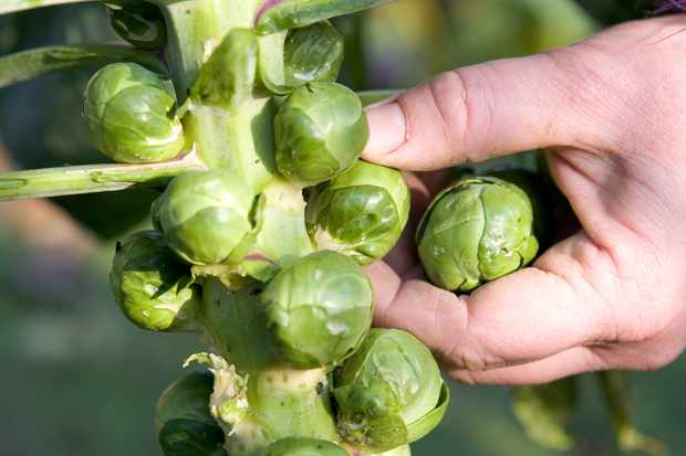 brussels-sprouts-8