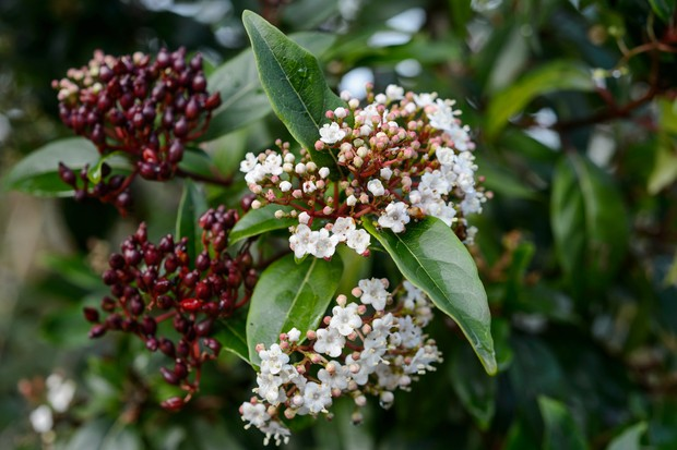 Maroon buds and white flowers of viburnum