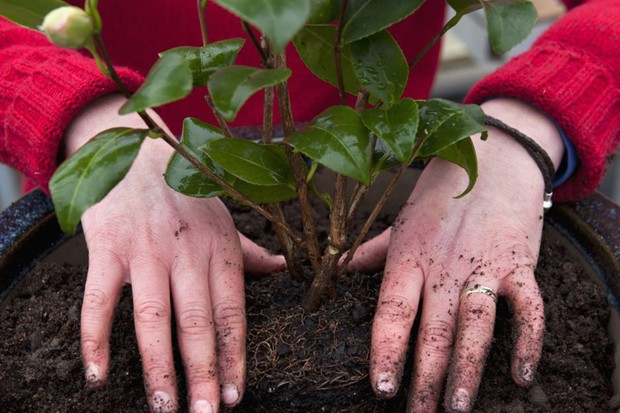 planting-the-camellia-in-the-pot-2