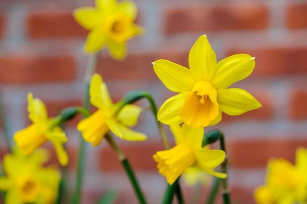 tete-a-tete-daffodils-2