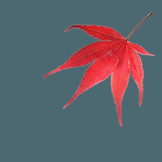 Red acer leaf