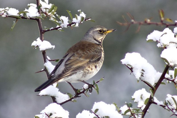 A fieldfare perched in snowy branches (many thanks to James Duffy for letting us use this image)