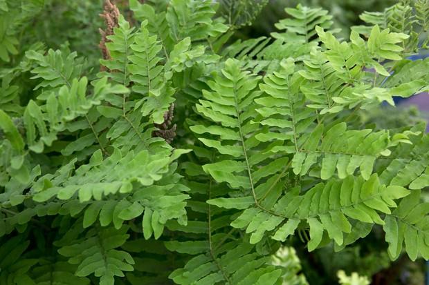Bright-green fronds of Osmunda regalis