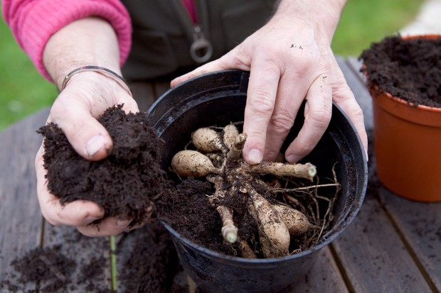 packing-the-dahlia-tuber-in-a-pot-of-dry-compost-3