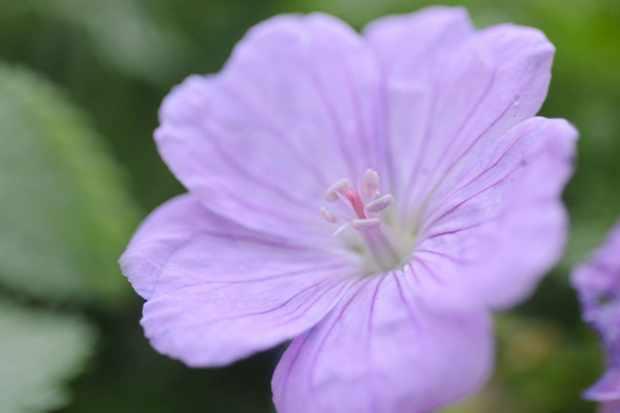 geranium-glenluce-2