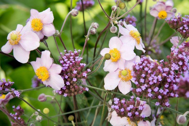 98774-Japanese anemone flowers: pale pink petals around golden centres