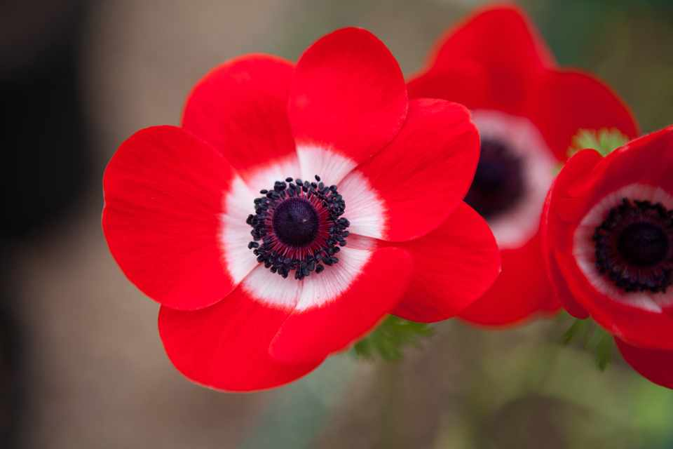 How to plant Anemone De Caen corms
