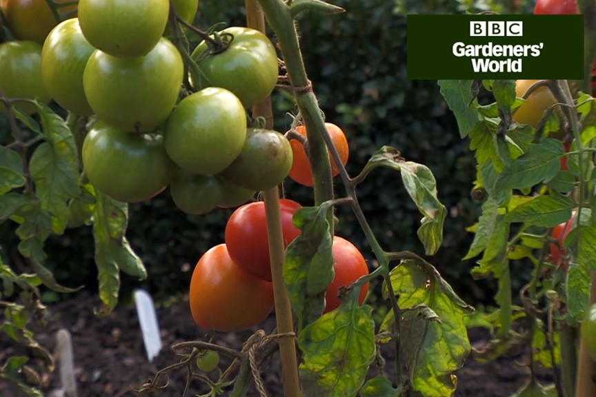 Monty Don's tomato trial part seven video