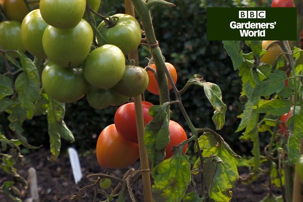 Monty Don's tomato trial (part seven)